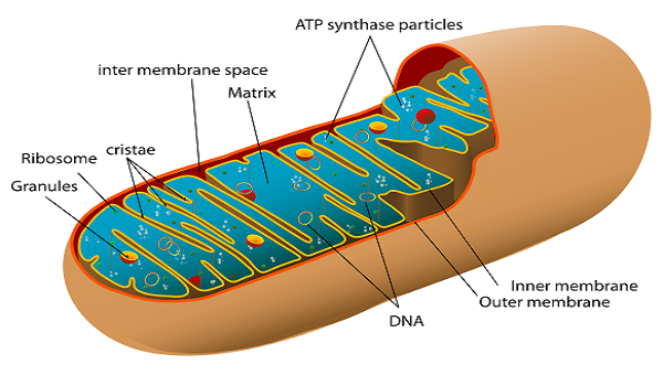 The function of the Matrix in the Mitochondria In Biology