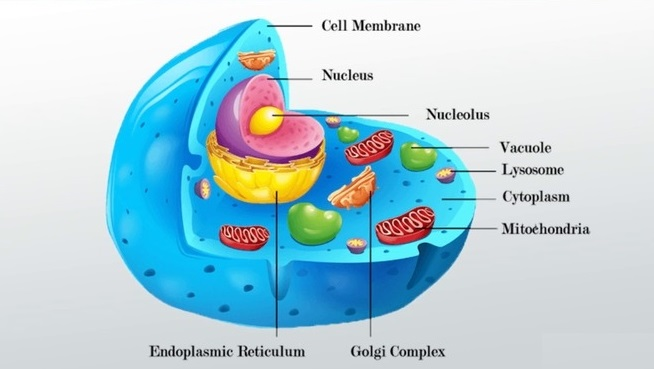 What is Cell With a Membrane & Nucleus