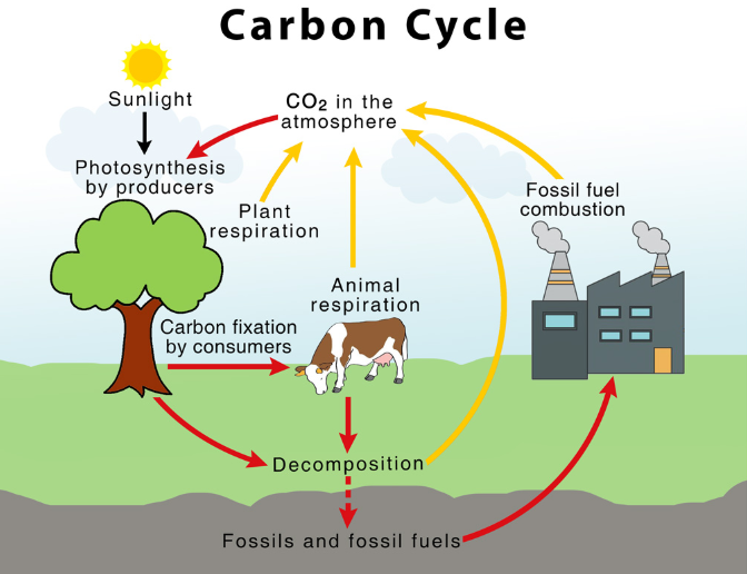 Carbon Cycle: What is the Importance and uses of Carbon in our Daily Life