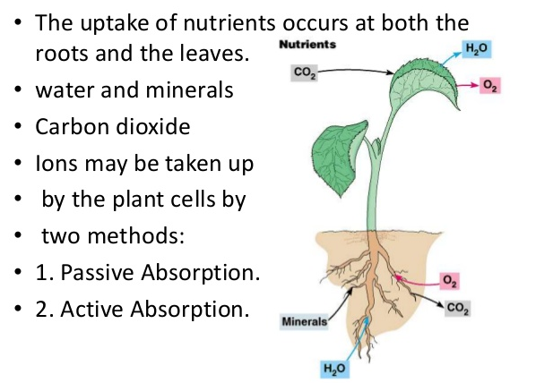 Mechanism of Ion Absorption by Roots
