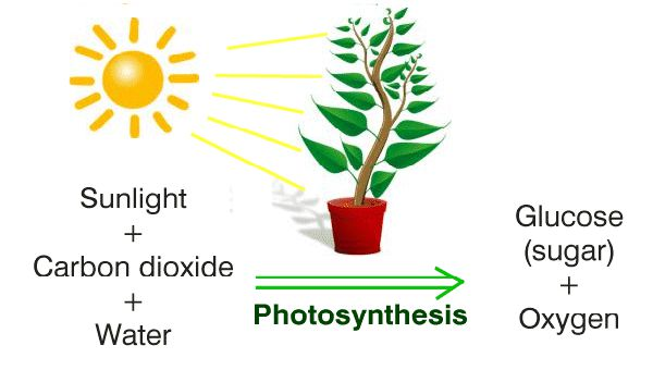 What is photosynthesis? Importance, Process, Cycle, Reactions, & Facts