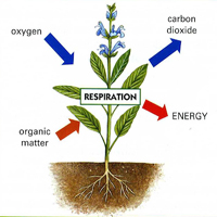 respiration of plants