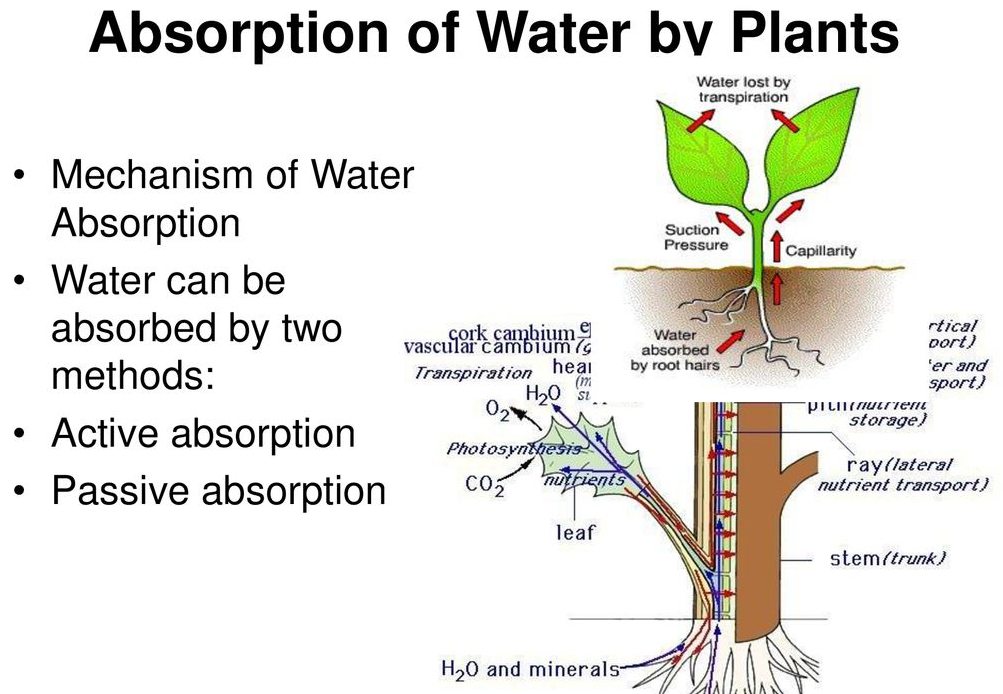 Factors Affecting Absorption of Water By Plants