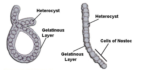 Structure of a cell of Nostoc