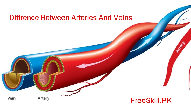 Arteries vs Veins