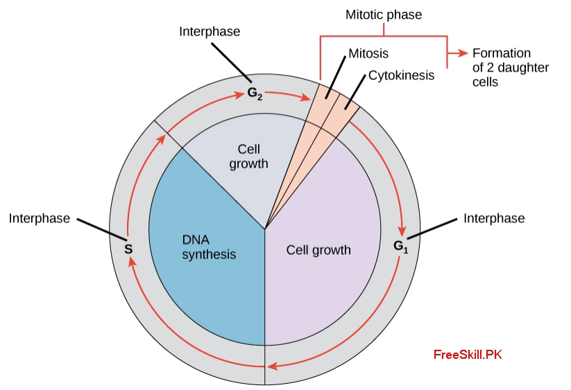 Cell Cycle: Definition, Phases, Examples, Regulation