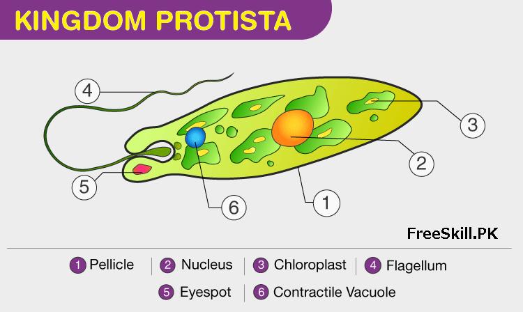 Kingdom Protista: Describe its Characteristics and Classification