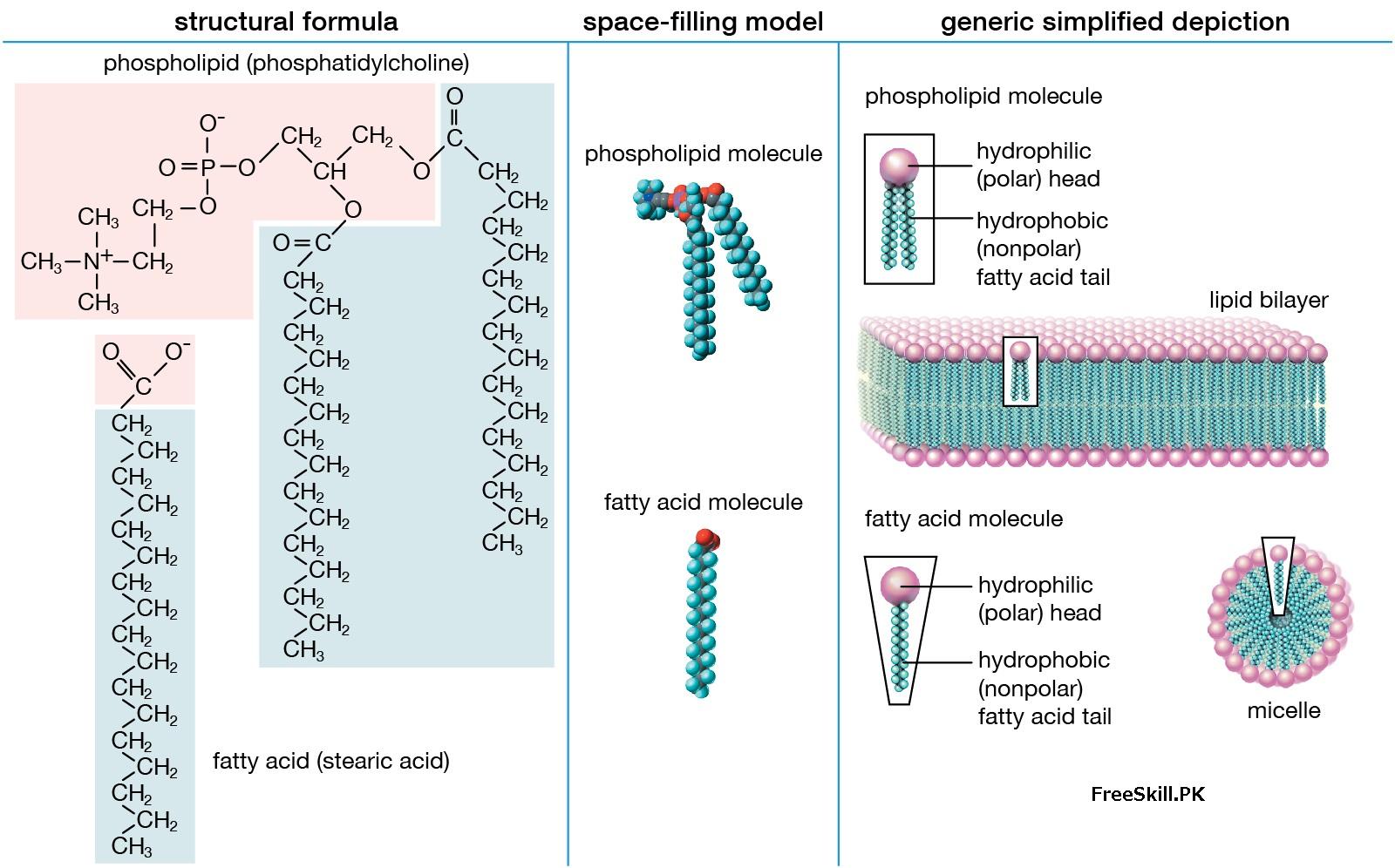 Lipids Structure