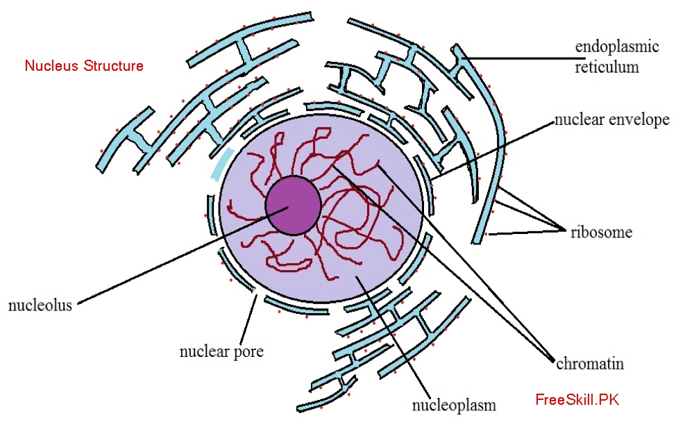 Nucleus: Define its Structure & Function