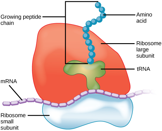 Ribosomes Function: Define Its Structure, Size, Location