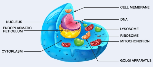 What Is A Cell? Define Its Structure, Types, Functions