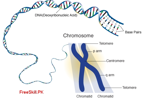Chromosome: Describe its Structure