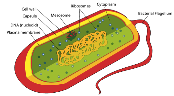 Cytoplasm: Define Its Function, Structure, and Location