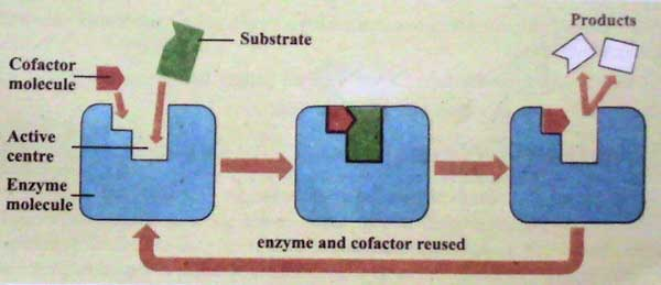 Enzymes: Its Structure, and Characteristics