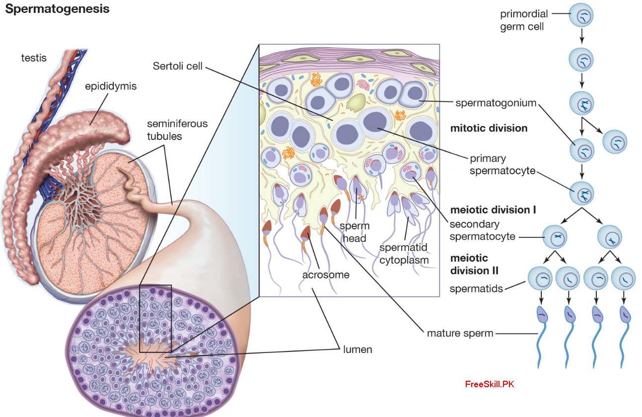 Spermatogenesis: Describe its Process and Function