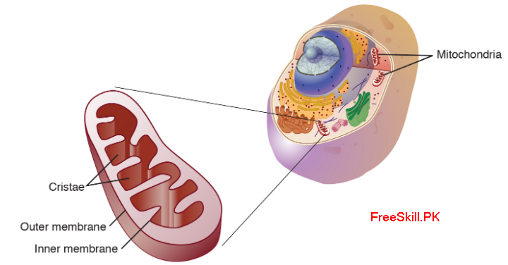 Mitochondria: Function, Structure, & Facts
